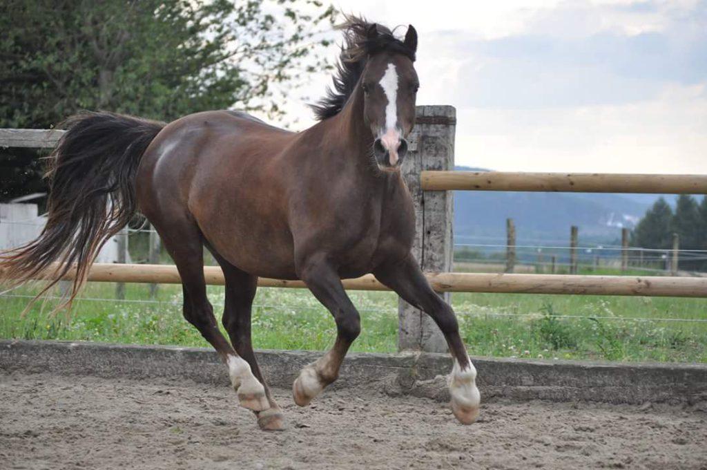 Gallen beim Pferd