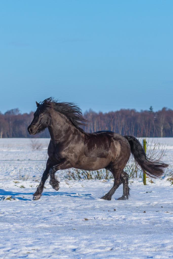 Gerade im Winter ist es wichtig, dass man alte Pferde gezielt versorgt, damit sie gut durch die kalte Jahreszeit kommen.