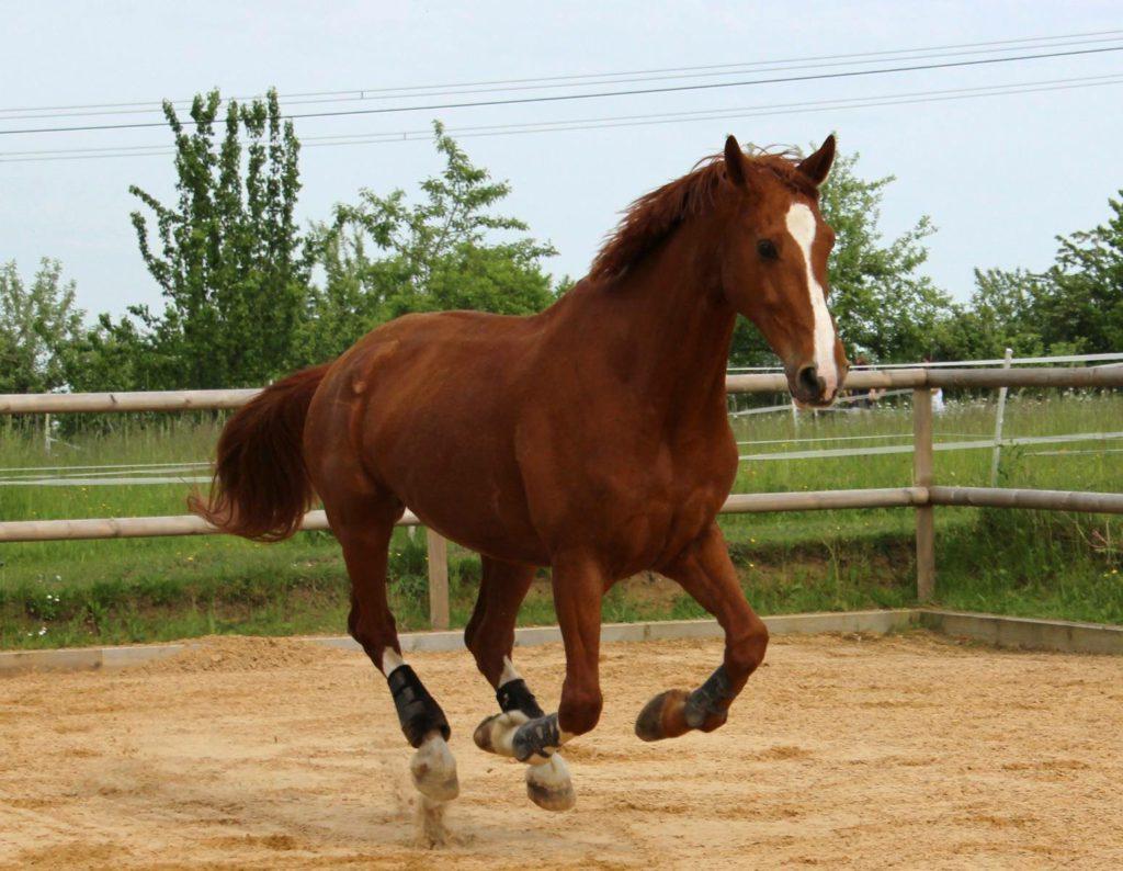 Pferd Gallen