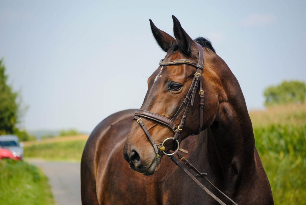 Pferd stehend. Muskelaufbau Pferd.