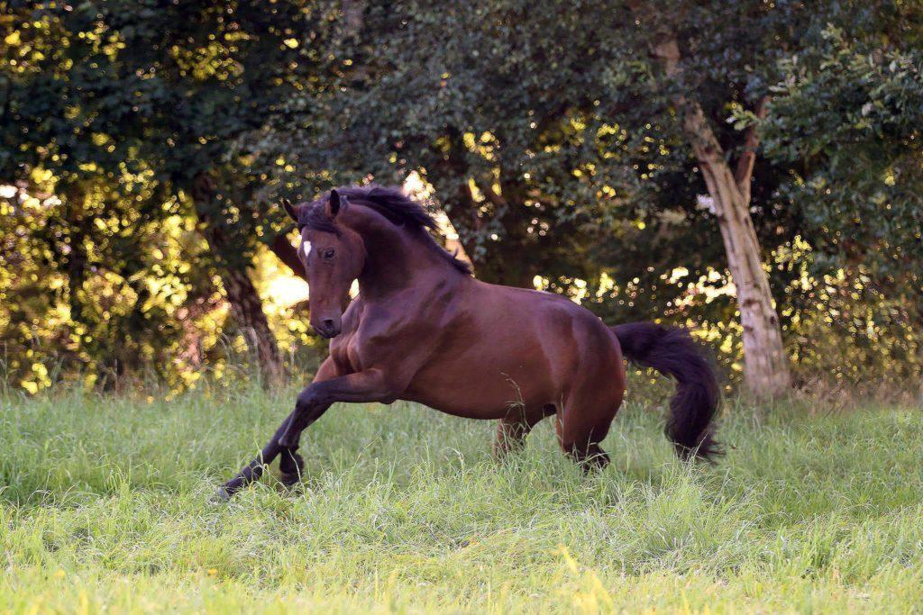 Pferd galoppiert.