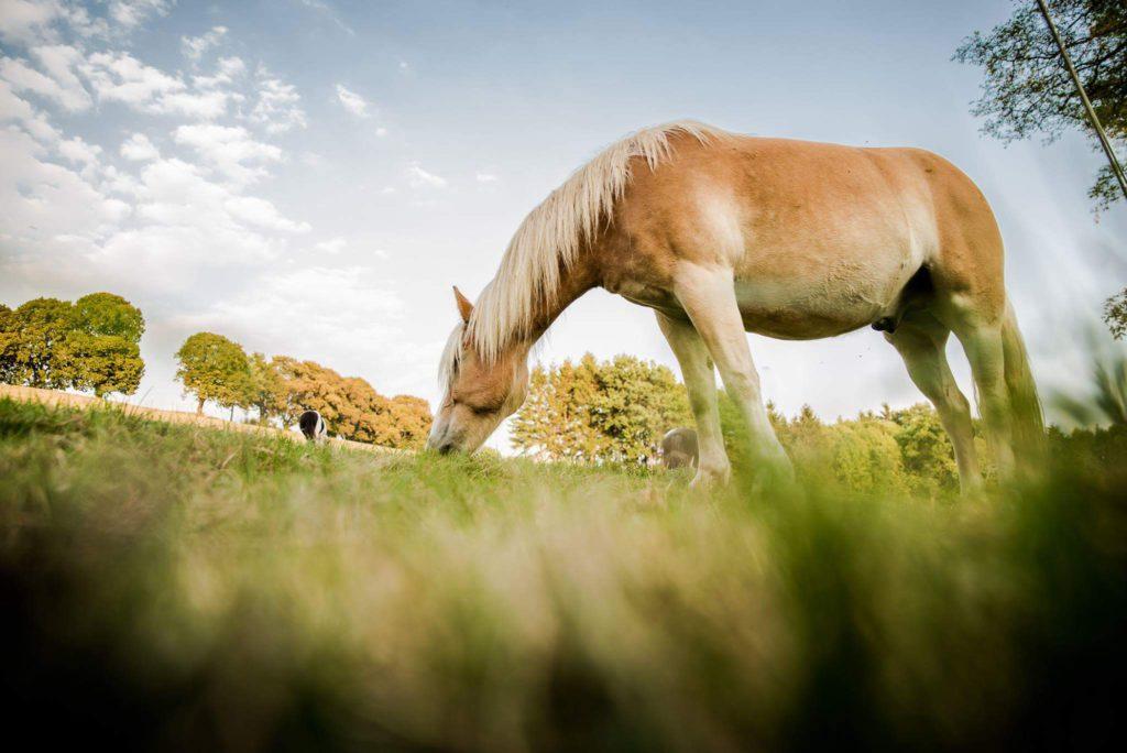 Giftpflanzen für Pferde